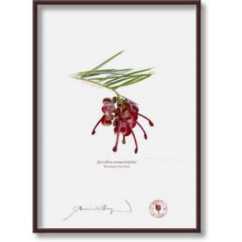 041 Rosemary Grevillea (Grevillea rosmarinifolia) - 5″×7″ Flat Print, No Mat