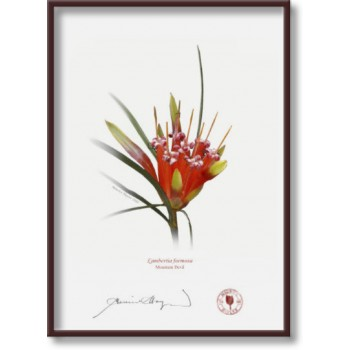 095 Mountain Devil (Lambertia formosa) - 5″ × 7″ Flat Print, No Mat