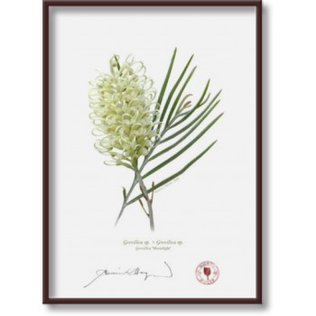 112 Grevillea 'Moonlight' - 5″ × 7″ Flat Print, No Mat
