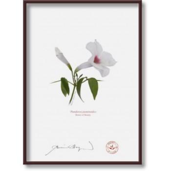 123 Pandorea jasminoides - 5″×7″ Flat Print, No Mat