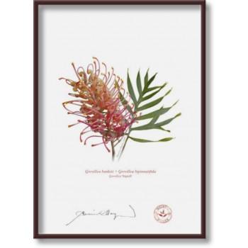 135 Grevillea 'Superb' - 5″×7″ Flat Print, No Mat
