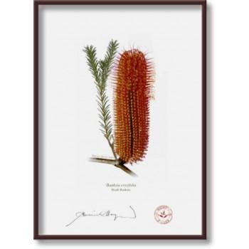 148 Heath Banksia (Banksia ericifolia) - 5″×7″ Flat Print, No Mat