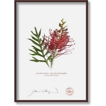 149 Grevillea 'Robyn Gordon' - 5″×7″ Flat Print, No Mat