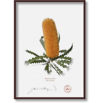 154 Ashby's Banksia (Banksia ashbyi) - 5″×7″ Flat Print, No Mat