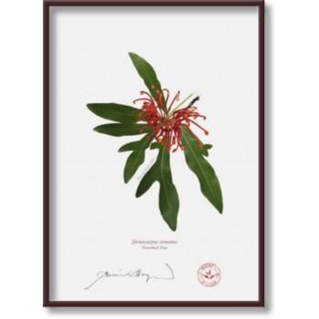 155 Firewheel Tree (Stenocarpus sinuatus) - 5″×7″ Flat Print, No Mat