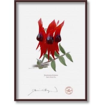160 Sturt's Desert Pea (Swainsona formosa) - 5″×7″ Flat Print, No Mat