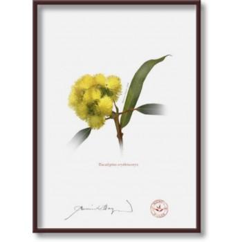 162 Eucalyptus erythrocorys - 5″×7″ Flat Print, No Mat