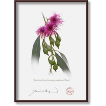 164 Eucalyptus leucoxylon subsp. megalocarpa 'Rosea' - 5″×7″ Flat Print, No Mat