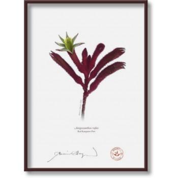 175 Red Kangaroo Paw (Anigozanthos rufus) - 5″×7″ Flat Print, No Mat