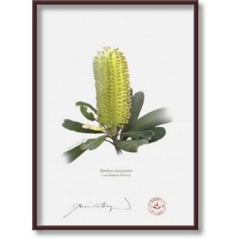192 Coast Banksia Flower (Banksia integrifolia) - 5″×7″ Flat Print, No Mat