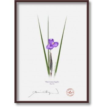 204 Day Iris (Patersonia fragilis) - 5″×7″ Flat Print, No Mat