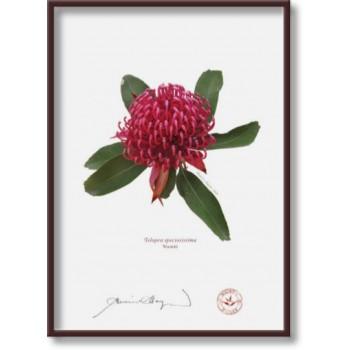 205 Waratah (Telopea speciosissima) - 5″×7″ Flat Print, No Mat