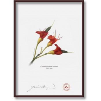 215 Black Bean (Castanospermum australe) - 5″×7″ Flat Print, No Mat