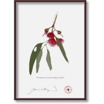 229 Eucalyptus leucoxylon subsp. petiolaris - 5″×7″ Flat Print, No Mat
