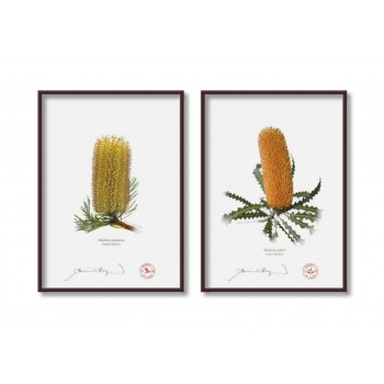 Banksia Flower Collection 2 Diptych - 5″ × 7″ Flat Prints, No Mats