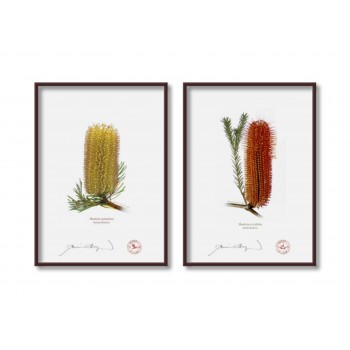Banksia Flower Collection 3 Diptych - 5″ × 7″ Flat Prints, No Mats
