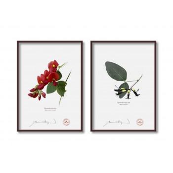 Kennedia species Diptych - 5″×7″ Flat Prints, No Mats