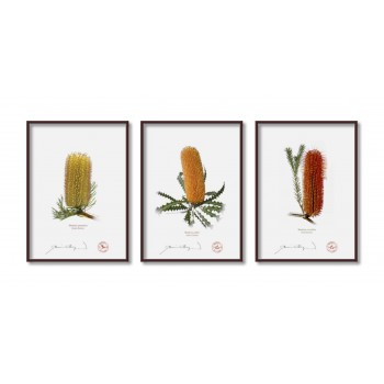Banksia Flower Collection 1 Triptych - 5″ × 7″ Flat Prints, No Mats