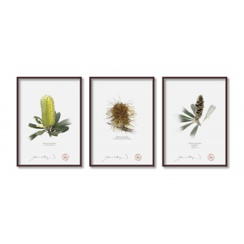 Life of a Banksia Flower Triptych - 5″ × 7″ Flat Prints, No Mats