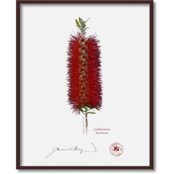010 Bottlebrush (Callistemon) - 8″ × 10″ Flat Print, No Mat