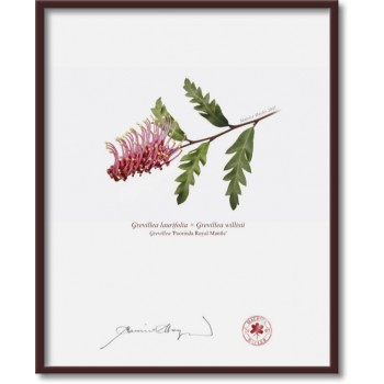 025 Grevillea 'Poorinda Royal Mantle' - 8″ × 10″ Flat Print, No Mat