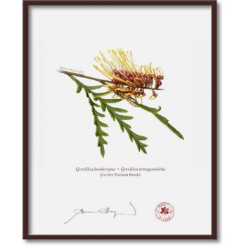 028 Grevillea 'Poorinda Blondie' - 8″×10″ Flat Print, No Mat