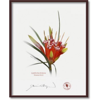 095 Mountain Devil (Lambertia formosa) - 8″ × 10″ Flat Print, No Mat