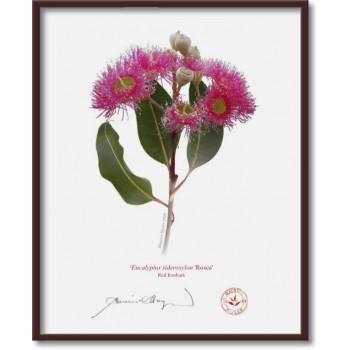 121 Red Ironbark (Eucalyptus sideroxylon 'Rosea') - 8″×10″ Flat Print, No Mat