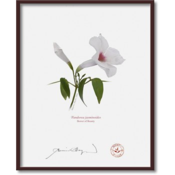 123 Pandorea jasminoides - 8″×10″ Flat Print, No Mat