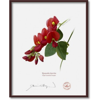 137 Cape Leeuwin Creeper (Kennedia lateritia) - 8″ × 10″ Flat Print, No Mat