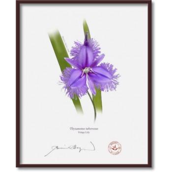 163 Fringe Lily (Thysanotus tuberosus) - 8″×10″ Flat Print, No Mat