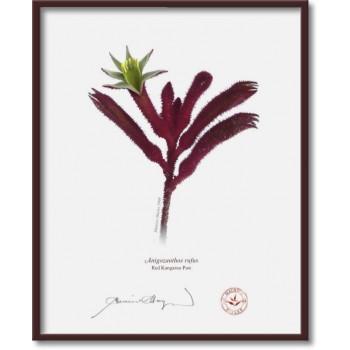 175 Red Kangaroo Paw (Anigozanthos rufus) - 8″×10″ Flat Print, No Mat