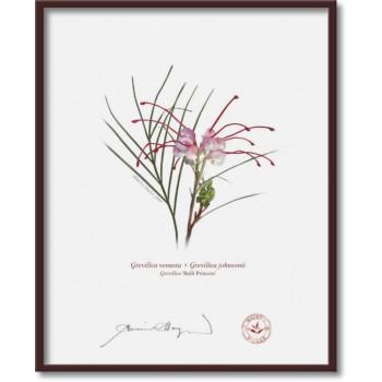 188 Grevillea 'Bulli Princess' - 8″×10″ Flat Print, No Mat