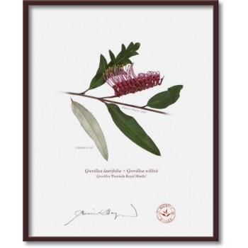 190 Grevillea 'Poorinda Royal Mantle' - 8″×10″ Flat Print, No Mat