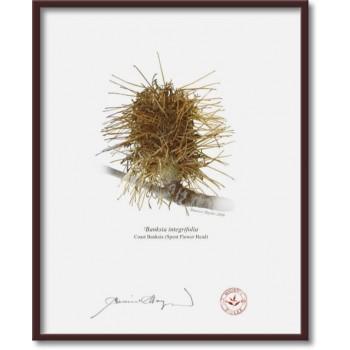 193 Spent Coast Banksia Flower (Banksia integrifolia) - 8″×10″ Flat Print, No Mat