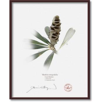 194 Coast Banksia Seed Cone and Leaf (Banksia integrifolia) - 8″×10″ Flat Print, No Mat