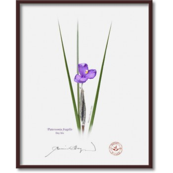 204 Day Iris (Patersonia fragilis) - 8″ × 10″ Flat Print, No Mat