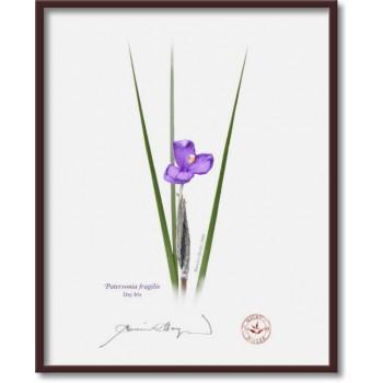 204 Day Iris (Patersonia fragilis) - 8″×10″ Flat Print, No Mat