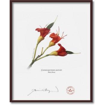 215 Black Bean (Castanospermum australe) - 8″×10″ Flat Print, No Mat