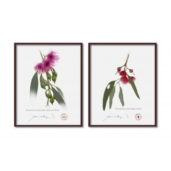 Eucalyptus leucoxylon subspecies Diptych - 8″×10″ Flat Prints, No Mats