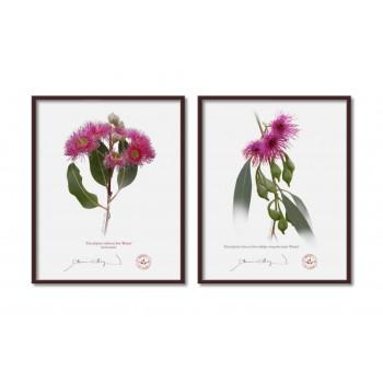 Eucalyptus 'Rosea' Cultivars Diptych - 8″×10″ Flat Prints, No Mats