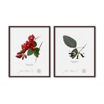 Kennedia species Diptych - 8″×10″ Flat Prints, No Mats