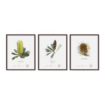 Life of a Banksia Flower Triptych - 8″ × 10″ Flat Prints, No Mats