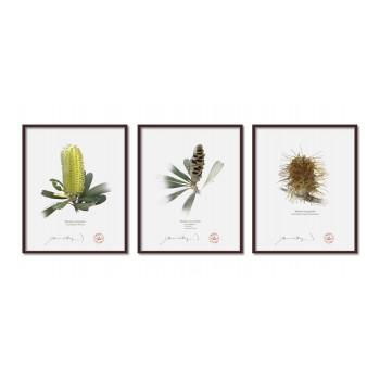 Life of a Banksia Flower Triptych - 8″×10″ Flat Prints, No Mats