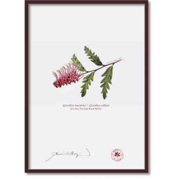 025 Grevillea 'Poorinda Royal Mantle' - A4 Flat Print, No Mat