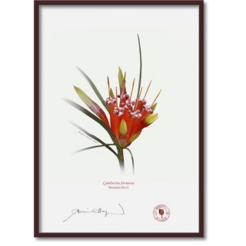095 Mountain Devil (Lambertia formosa) - A4 Flat Print, No Mat
