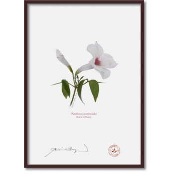 123 Pandorea jasminoides - A4 Flat Print, No Mat