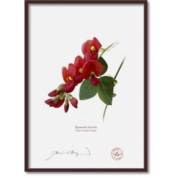 137 Cape Leeuwin Creeper (Kennedia lateritia) - A4 Flat Print, No Mat
