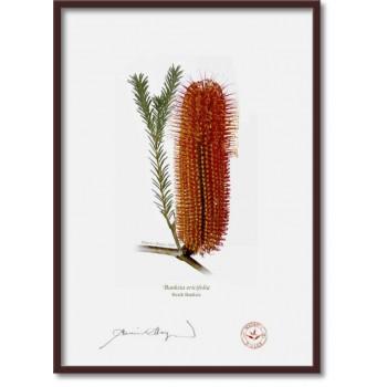 148 Heath Banksia (Banksia ericifolia) - A4 Flat Print, No Mat