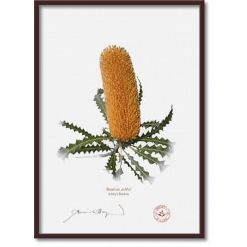 154 Ashby's Banksia (Banksia ashbyi) - A4 Flat Print, No Mat